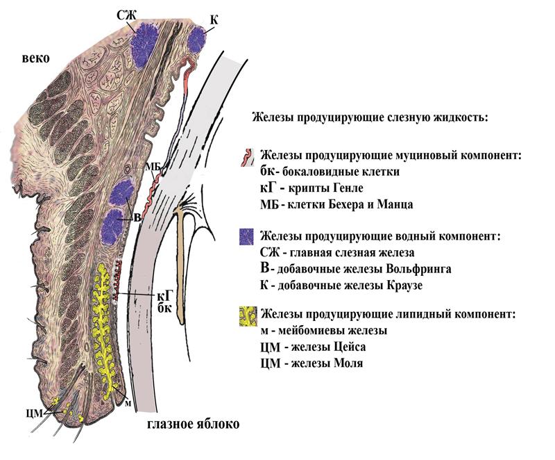 Болезни слезной пленки — наиболее частая причина обращения пациентов к офтальмологу. Болезни слезной пленки или болезнь «сухого глаза»?